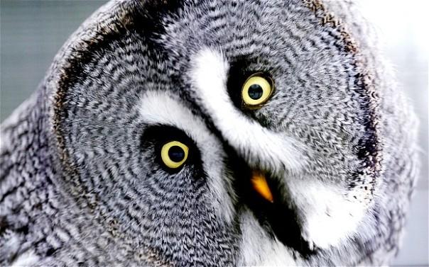 owl_2467479b